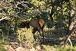 CALF ELK GRAZES THROUGH THE FORESTS in the WOODS SURROUNDING the GRAND CANYON<br />