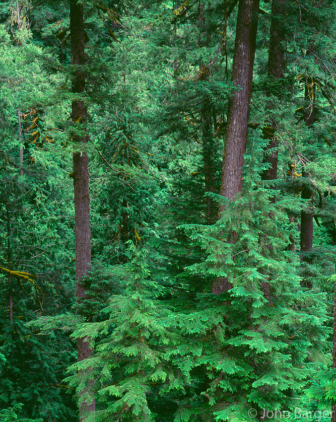 ORCAC_015 - USA, Oregon, Willamette National Forest, Middle Santiam Wilderness, Old-growth forest with large Douglas fir and western hemlock trees.