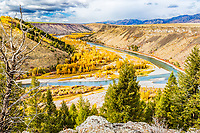 Snake River, Golden Cottonwoods, Swan Valley Idaho