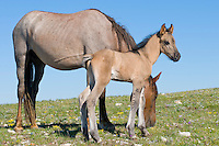 Wild Horse or feral horse (Equus ferus caballus) mare with colt.  Western U.S., summer.  The leg striping on the colt's front legs are one indication of Spanish ancestry.