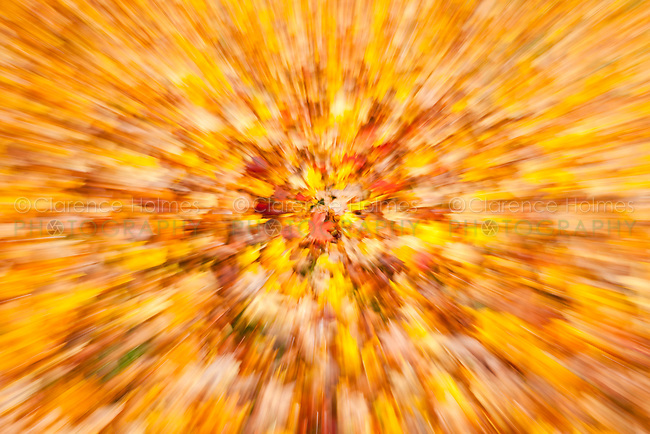 Abstract of newly fallen Autumn Red Maple Leaves