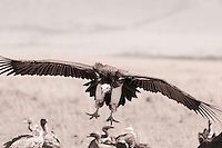 Artistically tones image of an African white-backed vulture, Gyps africanus, making a final approach with outspread wings , Kenya, Africa