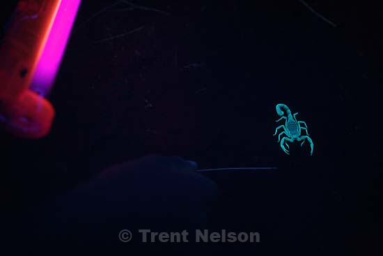 Sand Hollow State Park - With the help of a black light, scorpion expert Dan Richards looks for scorpions at Sand Hollow State Park.