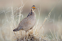Adult male Lesser Prairie-chicken (Tympanachus pallidicinctus) on a lek. Cimarron National Grassland, Kansas. April.