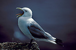 Kittiwake, Rissa tridactyla, adult  yawning, showing tongue, beak open, standing at nest on edge of cliff overlooking the sea. .