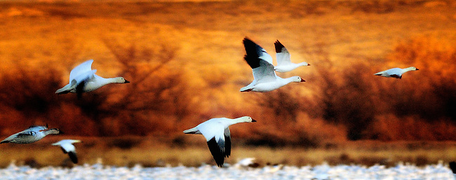 Many snow geese flying over a lake in the National Wildlife Refuge in Bosque del Apache, New Mexico