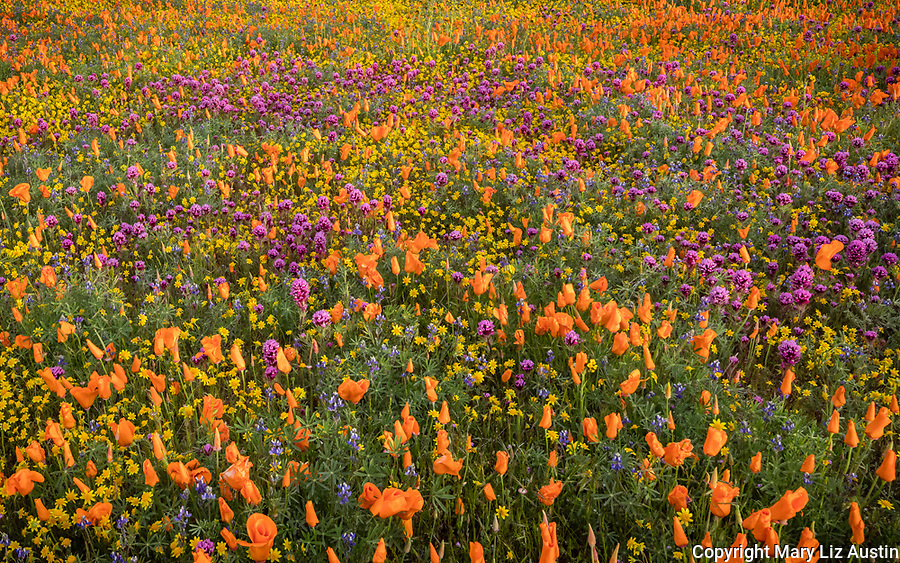 Antelope Valley, California: Poppies, Owl's clover and coreopsis blooming in fields near Lancaster, Los Angeles County, Mojave Desert