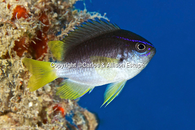 Chromis enchrysura, Yellowtail reeffish, Florida Keys