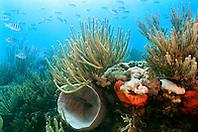coral reef, .Looe Key, Florida Keys National .Marine Sanctuary, Florida (Atlantic)