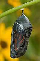 321000071 a monarch butterfly chrysalis danus plexippus  with the butterfly fully formed and colored inside ready to emerge in the texas hill country central texas