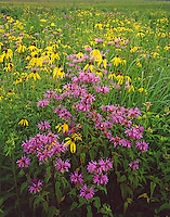 Bergamot and Gray Headed Coneflowers bloom on a prairie remnant in Starved Rock State Park in LaSalle County, Illinois