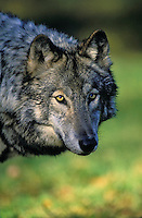 Gray Wolf (Canis lupus)..Autumn. Canada.