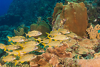 Smallmouth Grunt, Haemulon chrysargyreum, Bonaire, Netherland Antilles, Netherlands, Caribbean Sea, Atlantic Ocean