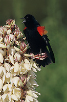 Red-winged Blackbird, Agelaius phoeniceus, male singing on blooming Trecul Yucca (Yucca treculeana), Lake Corpus Christi, Texas, USA