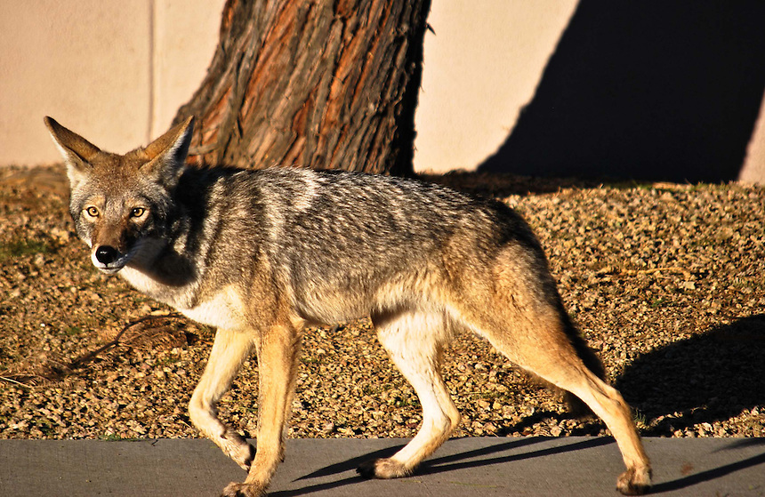 AJ ALEXANDER/AAP - Coyote walking and running around North East Phoenix suburbs just south of Bell Rd and 54th St. thru 52nd St. down to Kolter St. about 8:30am on Friday Janurary 16, 2015.<br /> Photo by AJ ALEXANDER (c)<br /> Author/Owner AJ Alexander