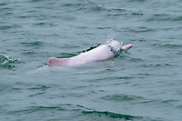 Chinese white dolphin or Indo-Pacific Ocean humpback dolphin, Sousa chinensis, surfacing. Hong Kong, Pearl River Delta