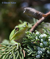 0605-0914  American Green Treefrog Climbing Tree at Outer Banks North Carolina, Hyla cinerea  © David Kuhn/Dwight Kuhn Photography