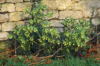 Helleborus foetidus growing at base of  stone wall, perennial hellebore in flower