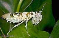 "0307-07oo  Spiny Flower Mantis (#9 Mantis) - Pseudocreobotra wahlbergii ""Female"" - © David Kuhn/Dwight Kuhn Photography"