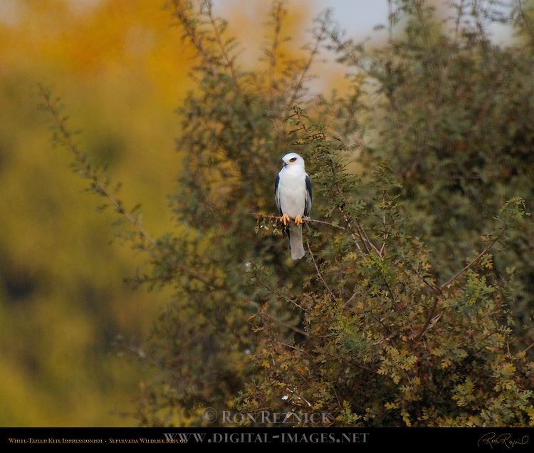 White-Tailed Kite Impressionism, Sepulveda Wildlife Refuge, Southern California