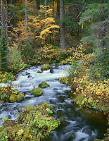 ORCAC_076 - USA, Oregon, Willamette National Forest, Autumn foliage and Douglas fir border Roaring River.