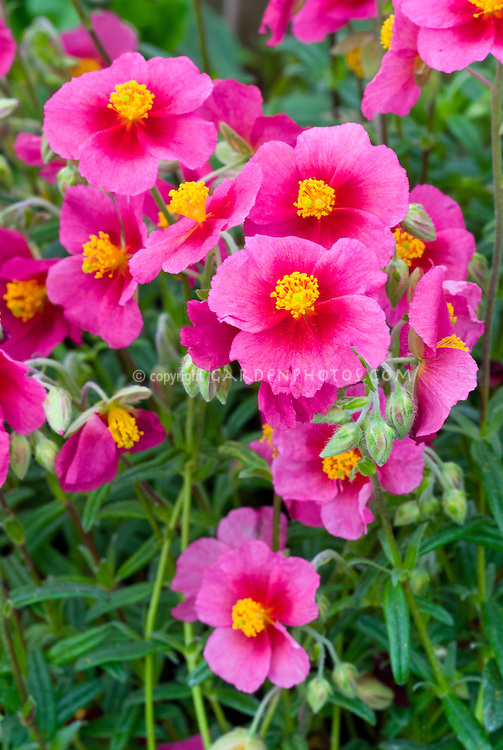 Helianthemum African Eyes Red Plant Flower Stock