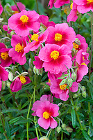 Helianthemum 'African Eyes' (red)