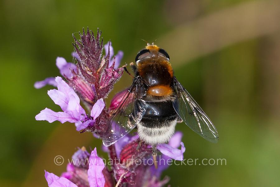 Hummel-Keilfleckschwebfliege, Pelzige Mistbiene, Pelzige Bienenschwebfliege,<br /> Blütenbesuch, Pollensuche, Nektarsuche, Blütenbestäubung, Tarnung, Mimikry, Mimikri wegen Hummelähnlichem Aussehen, Eristalis intricaria, Eristalis intricarius, Eoseristalis intricaria, Bumblebee Hoverfly, Bumble-bee Hoverfly, mimicry