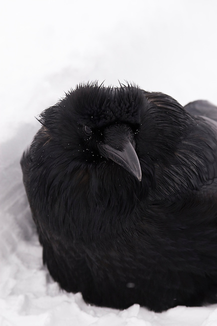 A raven huddles in the snow in Jasper National Park, Alberta Canada, on Jan 29, 2011.  Photo by Gus Curtis