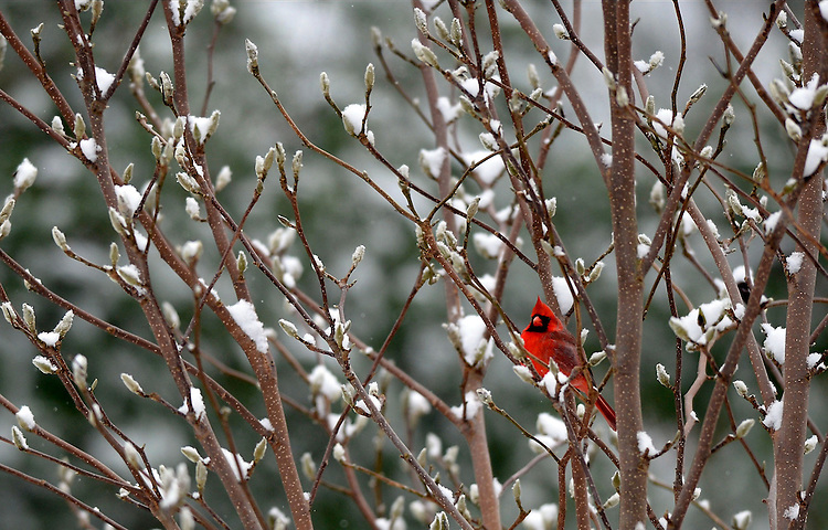 A Northern cardinal sits on a tree branch in a Lynnfield, Mass. backyard on Friday, November 28, 2014. Staff photo by Christopher Evans