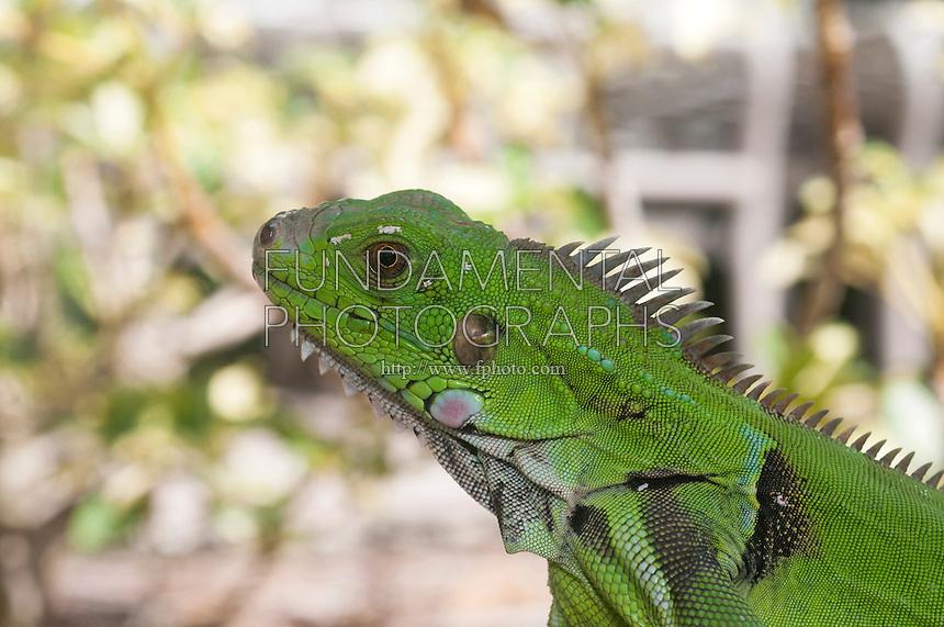 GREEN IGUANA<br /> Common Iguana<br /> Green Iguana in St. Thomas, U.S. Virgin Islands