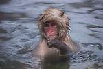 Japan, Japanese Alps, young snow monkey in hot spring