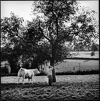 Europe/France/Bourgogne/Saône-et-Loire/Env de St Christophe en Brionnais:  Henri Velut emboucheur, éleveur de vaches charolaises grasses Auto N: 305
