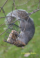 MA23-500z  Gray Squirrel, feeding on bird feeder, Sciurus carolinensis