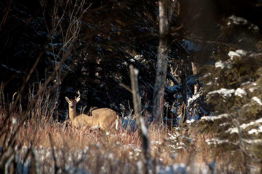 White Tail deer in late winter after shedding on antler.