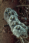 Long-eared owlets, Washington, USA