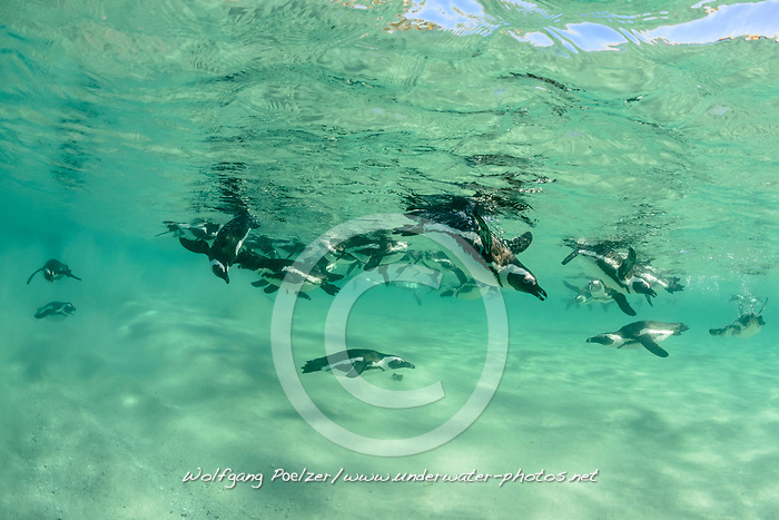 Spheniscus demersus, Brillenpinguine, Tauchende Pinguine unterwasser, African penguins or Jackass penguin or black-footed penguins, Diving Pinguins underwater, Suedafrica, Simons Town, False Bay, Boulders Beach, South Africa