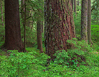 Olympic National Park, Washington<br /> Old growth trees in the temperate rainforest of the Sol Duc Valley