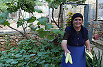 Lin-Pogradec-Albania - August 02, 2004---A woman from the village of Lin harvesting cucumber in her home garden; region/village of project implementation by GTZ-Wiram-Albania (German Technical Cooperation, Deutsche Gesellschaft fuer Technische Zusammenarbeit (GTZ) GmbH); agriculture-people-portrait---Photo: Horst Wagner/eup-images
