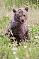 Grizzly bear cub sitting in a field - CA