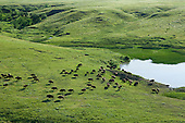 Buffalo herd on the prairie
