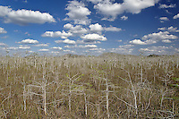 Dwarf Cypress forest, Everglades National Park, Florida