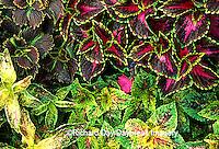 63821-068.18 Coleus (Solenostemon scutellarioides) Marion Co.  IL