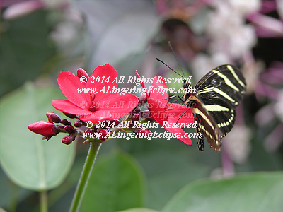 Longwing Butterfly Family Heliconidae nectar butterflies flutter method nature interesting food feed feeding unusual insect insecta butterfly close up close up wing pattern patterns delicate antenna antennae The State Butterfly of Florida Zebra Longwing Long black wings with distinctive thin yellow bands combined with slow graceful flight characterize the zebra longwing Heliconius charitonius It has a wide range of habitats including hardwood hammocks thickets and gardens The zebra longwing is found throughout the state although it is more common in south Florida particularly in the Everglades National Park In 1996 the state legislature designated the zebra longwing as the official state butterfly