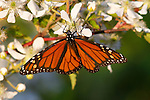Monarch butterfly on blackberry