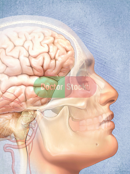 This medical illustration shows the head from a lateral view with the skull and brain ghosted and visible beneath the skin of an adult caucasian male.