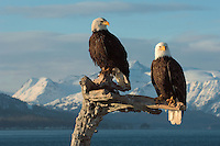 Bald eagles, Homer, Alaska, USA