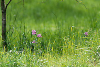 Dames rocket, Hysperis matronalis, light purple flowers bloom in May at the edge of the field