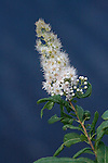 White Meadowsweet