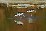Black-necked stilts at the Salton Sea